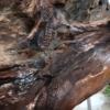 030-4 Ben Hellewell Angelfish Unique timber Indoor 2021